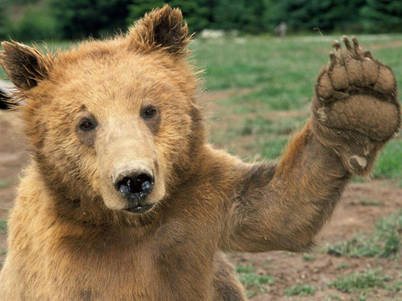 Bear Waving